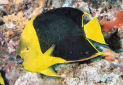 Animal-World info on Rock Beauty Angelfish