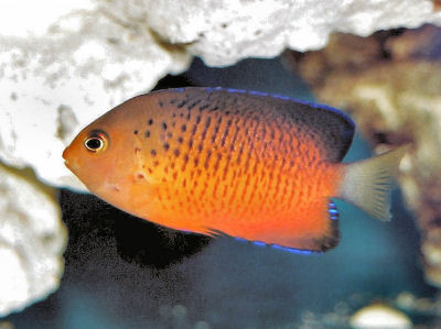 Rusty Angelfish, Centropyge ferrugatus, Rusty Dwarf Angelfish, Rusty Pygmy Angelfish