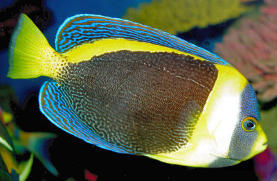 Scribbled Angelfish, Chaetodontoplus duboulayi, Duboulay's Angelfish
