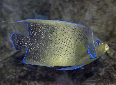 Koran Angelfish Pomacanthus semicirculatus, Semicircle Angelfish, Semicirculatus Angelfish (Adult)