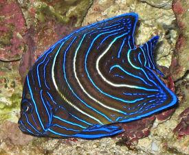 Adult koran angel fish sorry, does