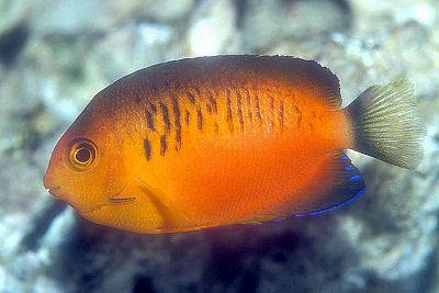 Shepard's Pygmy Angelfish, Centropyge shepardi, Shepard's Pygmy Angel, Mango Angelfish, and Shepard's Dwarf Angelfish