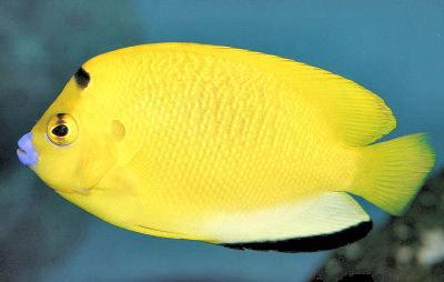 Flagfin Angelfish Apolemichthys trimaculatus, Three-spot Angelfish