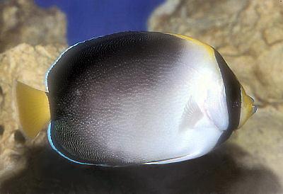 Vermiculated Angelfish, Chaetodontoplus mesoleucus, Singapore Angelfish