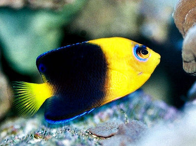 Yellowhead Angelfish, Centropyge joculator, Joculator Pygmy Angel, Coco's Pygmy Angelfish