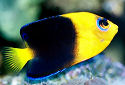 Click for more info on Yellowhead Angelfish
