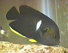 Keyhole Angelfish, Centropyge tibicen
