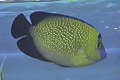 Gold-spangled Angelfish, Apolemichthys xanthopunctatus