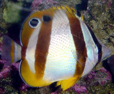 South African Butterflyfish, Double Sash Butterflyfish, Chaetodon marleyi, Marley's Butterflyfish