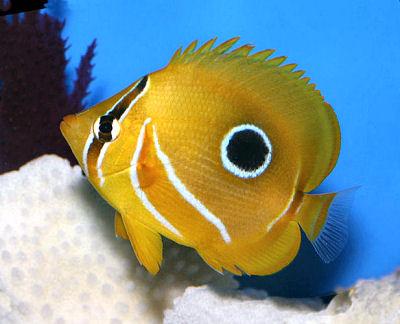 Bennett's Butterflyfish, Chaetodon bennetti, Bluelashed Butterflyfish, Archer Butterflyfish, Eclipse Butterflyfish
