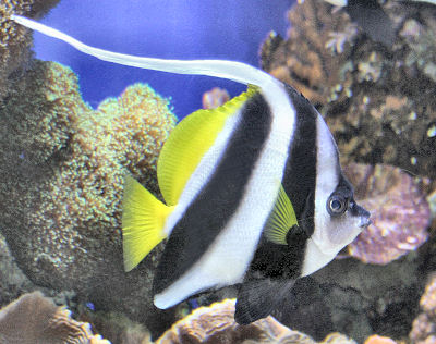 Black and White Heniochus, Heniochus acuminatus, Longfin Bannerfish, Pennant Coralfish