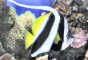 Click for more info on Black and White Heniochus