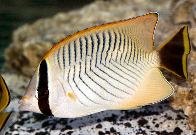 Chevron Butterflyfish, Chaetodon trifascialis, Triangulate Butterflyfish, V-lined Butterflyfish, Table-coral Butterflyfish
