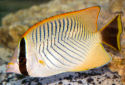 Click for more info on Chevron Butterflyfish