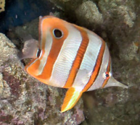 Copperband Butterflyfish or Beaked Coralfish