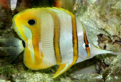 Copperband Butterflyfish, Chelmon rostratus, Beaked Coralfish, Beaked Butterflyfish