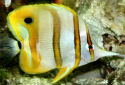 Animal-World info on Copperband Butterflyfish