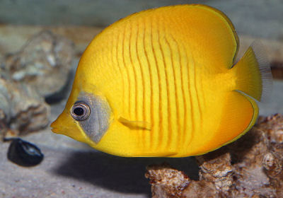 Golden Butterflyfish, Chaetodon semilarvatus, Masked Butterflyfish, Bluecheek Butterflyfish
