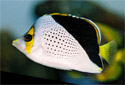Picture of a Hawaiian Butterflyfish Chaetodon tinkeri