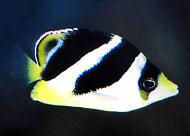 Picture of a juvenile Indian Butterflyfish or Headband Butterflyfish
