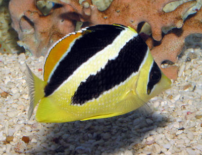 Indian Butterflyfish Chaetodon mitratus, Headband Butterflyfish, Black and Yellow Butterflyfish
