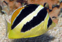 Click for more info on Indian Butterflyfish