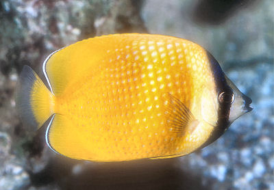Klein's Butterflyfish, Chaetodon kleinii, Sunburst butterflyfish, Blacklip Butterflyfish