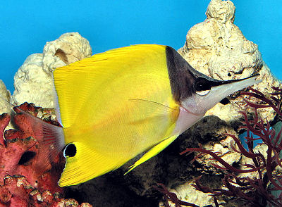 Yellow Longnose Butterflyfish, Forcipiger flavissimus, Long-nosed Butterflyfish, Forceps Butterflyfish