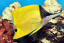 Long-nosed Butterflyfish Fact Sheet