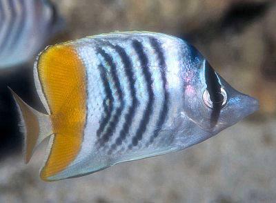 Merten's Butterflyfish, Chaetodon mertensii, Atoll Butterflyfish, Yellowback butterflyfish