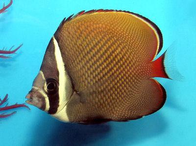 Pakistan Butterflyfish, Chaetodon collare, Redtail Butterflyfish, Collare Butterflyfish