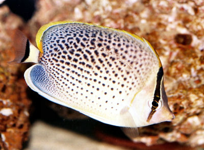 Peppered Butterflyfish, Chaetodon guttatissimus, Spotted Butterflyfish