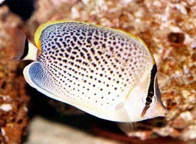 Peppered Butterflyfish, Chaetodon guttatissimus, Spotted Butterflyfish