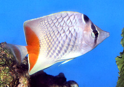 Pearlscale Butterflyfish, Chaetodon xanthurus, Philippine Chevron Butterflyfish, Yellowtail Butterflyfish