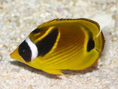 Raccoon Butterflyfish, Chaetodon lunula, Halfmoon butterflyfish