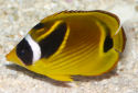 Raccoon Butterflyfish Fact Sheet