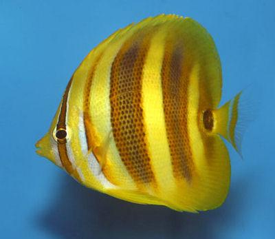 Rainford's Butterflyfish, Chaetodon rainfordi, Rainford's Coralfish, Northern Butterflyfish