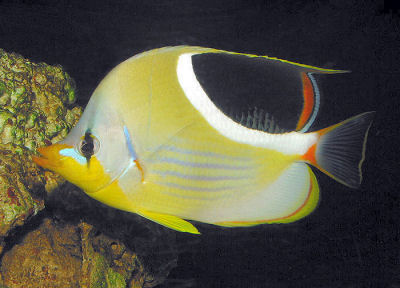 Saddled Butterflyfish, Chaetodon ephippium, Saddleback butterflyfish, Blackblotch Butterflyfish