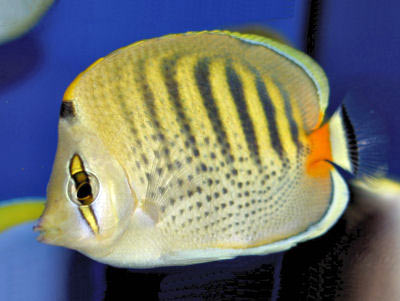 Spot-banded Butterflyfish, Chaetodon punctatofasciatus, Dot Dash Butterflyfish, Punctato Butterflyfish, Sevenband Butterflyfish