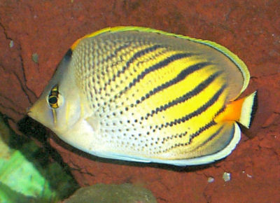 Sunset Butterflyfish or Dot-and-Dash Butterflyfish, Chaetodon pelewensis