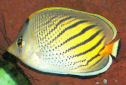 Animal-World info on Sunset Butterflyfish