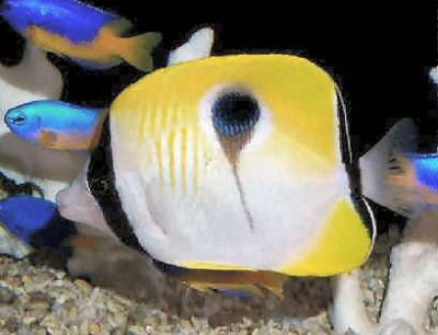 Teardrop Butterflyfish, Chaetodon unimaculatus, Onespot Butterflyfish, Limespot Butterflyfish