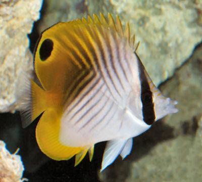 Threadfin Butterflyfish, Chaetodon auriga, Auriga Butterflyfish, Cross-stripe Butterfly