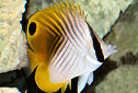 Animal-World info on Threadfin Butterflyfish