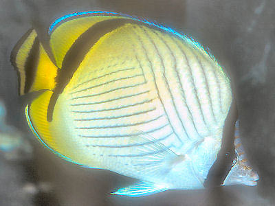 Vagabond Butterflyfish, Chaetodon vagabundus, Crisscross Butterflyfish