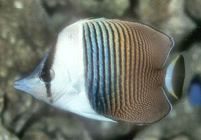 White-face Butterfly, Chaetodon mesoleucos, White-fronted Butterflyfish