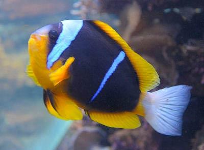 Allard's Clownfish, Amphiprion allardi, Twobar Anemonefish