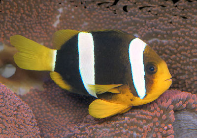 Picture of a Banded Clownfish or Clarks' Anemonefish