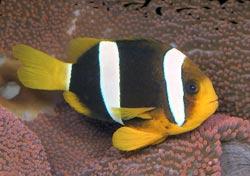 Clarkii Clownfish, Amphiprion clarkii, Clark's Anemonefish, Yellowtail Clownfish
