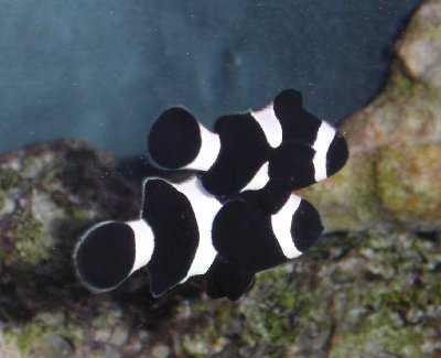 Picture of a pair of Black Percula Clownfish, Amphiprion ocellaris